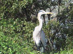 Bird Photos, Birding Sites, Bird Information: GREAT BLUE HERON, FREEDOM PARK, NAPLES, FL