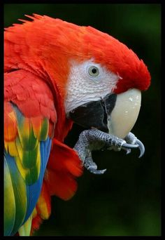 Scarlet Macaw - by Mark Oxley