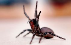 The Sydney funnel-web spider is found within 100km of the city. In the tropics and subtropics, they favour rainforests and higher altitudes, but in southern states they live in drier eucalypt forests and woodlands, as well as snow country. Nobody in Australia has died from a spider bite since 1980 after the successful introduction of antivenom for all native species.