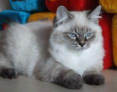 siberian kittens for adoption in michigan   Magnificent Siberian Neva Masquerade boys FOR SALE ADOPTION from Kiev ...