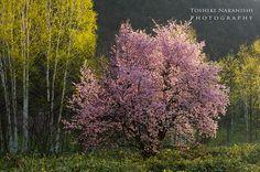 いつもの桜 | Pieces of time