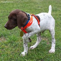 German Shorthaired Pointer Pictures (zea3cr8l70u)