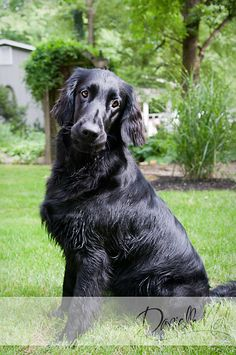 Black Flat Coated Retriever posing for the camera #dog
