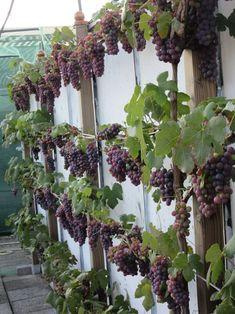 Druivenstruik, blauwe druif