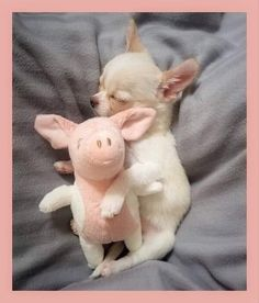 Chihuahua Puppies, Cute Dogs And Puppies, Baby Dogs, I Love Dogs, Cute Little Animals, Cute Funny Animals, Funny Dogs, Cute Animal Photos, Funny Animal Pictures