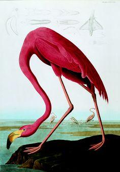 American flamingo - Audubon's Iconic Birds | Audubon Magazine