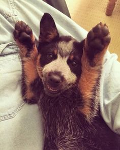 Happy blue heeler pup