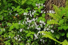 shady woodland flowers