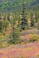Denali, Alaska, mountain, tundra, color, fall, tree, spruce, willow,        	 photo by Anthony Gibson