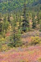 Denali, Alaska, mountain, tundra, color, fall, tree, spruce, willow,         photo by Anthony Gibson