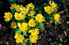 Eranthis hymealis    small tuberous perennials with palmately or pinnately lobed basal leaves and cup-shaped flowers held above a collar of deeply lobed stem leaves