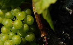 What are the most common vineyard pests and diseases? Farming, Wine Education, Most Common, Canopy, Vineyard, Fruit, Vine Yard, Vineyard Vines, Canopies