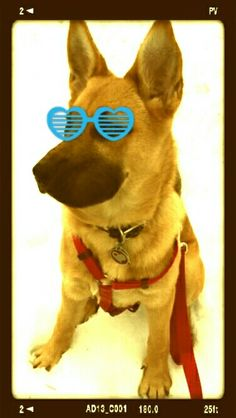 ☆ CHEWY ♡ My German Shepherd ☆