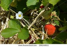 strawberry and flower - stock photo