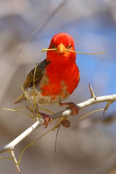 10,000 Birds | Weavers - male Red-headed Weaver collecting shoots for building his nest.