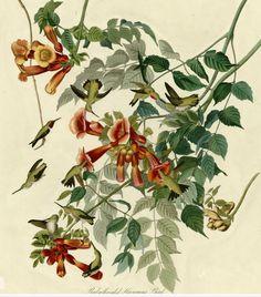 Ruby-throated Hummingbird by John James Audobon