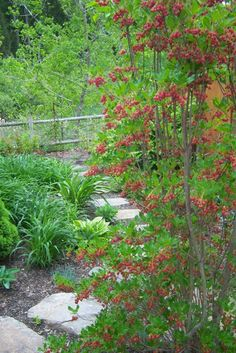 Redvein Enkianthus (E. campanulatus), a deciduous, upright Rhododendron relative for part shade, sporting red-veined hanging bells in April, and wonderful fall foliage. Grows 6-8' H x 4-6' W. Moist, well-drained soil.