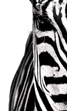 oh hello, zebra!