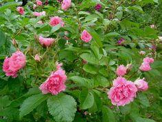 Ruusun kukkia vuodelta 2003