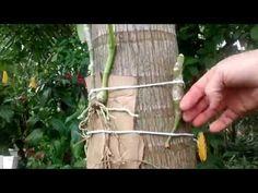 Como planto Orquídea em árvore palmeira tronco e toco de madeira - YouTube