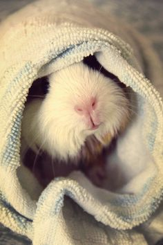 wrapped and snug guinea pig