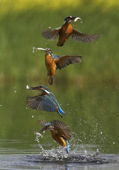 Sequence Photography for Kingfisher Pretty Birds, Beautiful Birds, Animals Beautiful, Common Kingfisher, Kingfisher Bird, Sequence Photography, Animal Photography, Action Photography, Amazing Animals