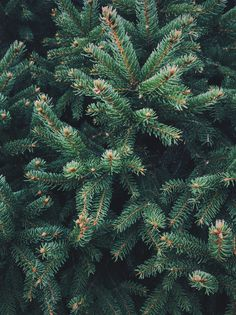 thomas-hanks: Pines © Thomas Hanks More