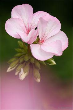 Pretty Pink Geranium