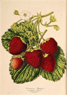 Strawberry 'Oscar' (1870-1879) | Fragaria × ananassa Chromolithograph circa 1870s  From the Swallowtail Garden Seeds collection of botanical photographs and illustrations.  We hope you will enjoy these images as much as we do.