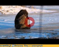 Miś i bela słomy Śmieszne Filmy Inne zwierzęta http://Zoomia.pl