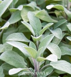 Monrovia's Berggarten Sage details and information. Learn more about Monrovia plants and best practices for best possible plant performance.