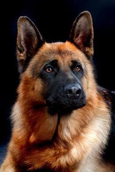 #german shephard #dog