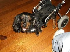 Maci is an adoptable Dachshund Dog in Georgetown, KY. MACI is only about 4 yo...and weight about 10 lb...has had back surgery latter May 2012...has deep pain in rear legs and has stood for a few momen...