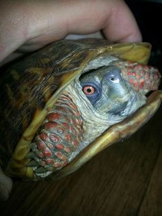 Oscar, he is an Ornate Box Turtle