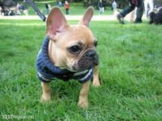 I'm a cat person. But French bulldogs are JUST. SO. CUTE.