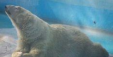 La osa polar reaccionó favorablemente al proceso anestésico, está consciente y descansa en su dormitorio en el Parque Zoológico de Morelia – Morelia, Michoacán, 23 de marzo de 2017.- El ...