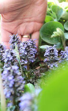 Short but colorful flower spikes of purple-leaved spinach ajuga. Cool!    Purple-leaved spinach ajuga / Ajuga-reptans 'Metallica Crispa Purpurea'
