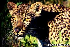 where to see leopard