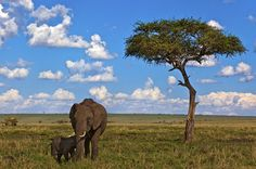 Afrikanischer Elefant - Amboseli Nationalpark - Kenia