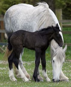 A week-old shire horse foal cuddle her mother Orla at Cornwall's Crealy Adventure Park in Wadebridge, England.