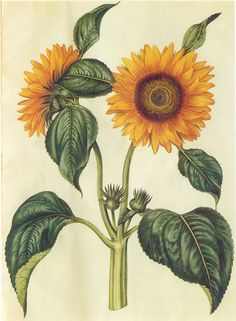 Helianthus annuus Gottorfer Codex, From our collection of botanical photographs, illustrations, and paintings. We hope you will enjoy these images as much as we do. Vintage Botanical Prints, Botanical Drawings, Botanical Flowers, Botanical Art, Sunflower Illustration, Sunflower Drawing, Illustration Botanique, Picture Boxes, Sunflower Seeds