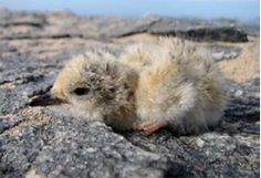 A day-old Damara Tern        relies on its highly cryptic down coloration to avoid predators.