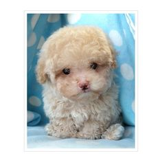 Toy Poodle Puppies For Sale South Florida found on Polyvore