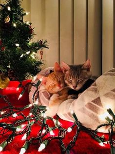 It's not only kids who get excited for Santa to visit; these cats are getting into the holiday spirit and are impatiently counting down the hours, minutes, seco