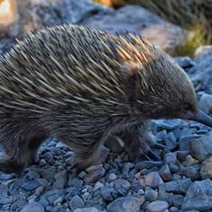 """BREAKING NEWS! There has been an Echidna population in Tassie that has cross-bred with Wombats! These incredibly unique and endemic species are SO cute that Tassie wildlife teams are setting up protected areas to encourage continued breeding of this new species. They're still searching for what to name these incredible Wombat X Echidnas... what do you think they should be called?! Currently on the table: """"Womchidnas"""" or """"Echidbats."""" 📷: @jaimoyle_photography . . #tasmaniasnorthwest… Echidna, Wombat, Tasmania, North West, Searching, Wildlife, The Incredibles, News, Unique"""