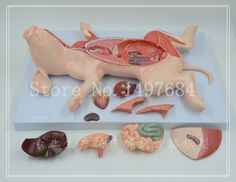 Free Shipping Pig anatomy. Assembled pig model. Animal anatomy. Research on the teaching of Animal Biology
