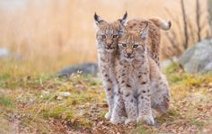 Irja and Iben in an Autumn pose - Irja (to the left) and Iben (to the right) are 4 months old Eurasian lynx sisters.