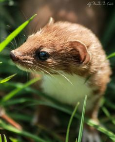 Stoat, Mustela erminea by Lily Mendes da Costa with Pin-It-Button on 500px