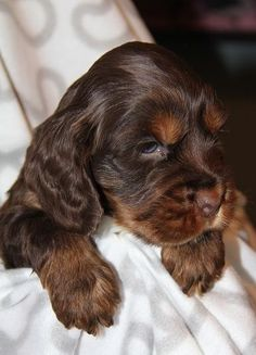 Chocolate Tan Cocker Spaniel | Beautiful Chocolate And Tan Cocker Spaniel Puppy