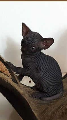 My baby boy Zazel - Hairless Cat - Ideas of Hairless Cat - My baby boy Zazel The post My baby boy Zazel appeared first on Cat Gig. Cute Cats And Kittens, I Love Cats, Crazy Cats, Cool Cats, Pretty Cats, Beautiful Cats, Animals Beautiful, Black Hairless Cat, Hairless Cats